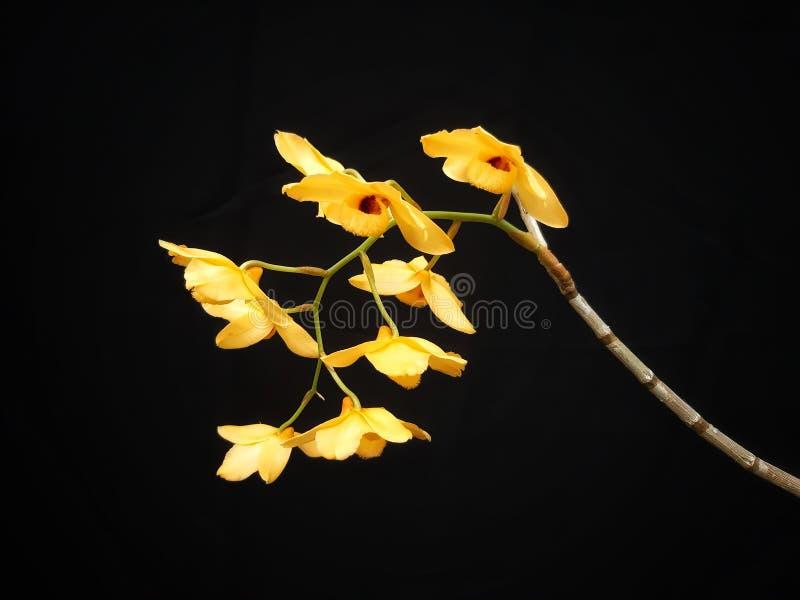 石斛兰属moschatum,花关闭在黑背景 库存图片