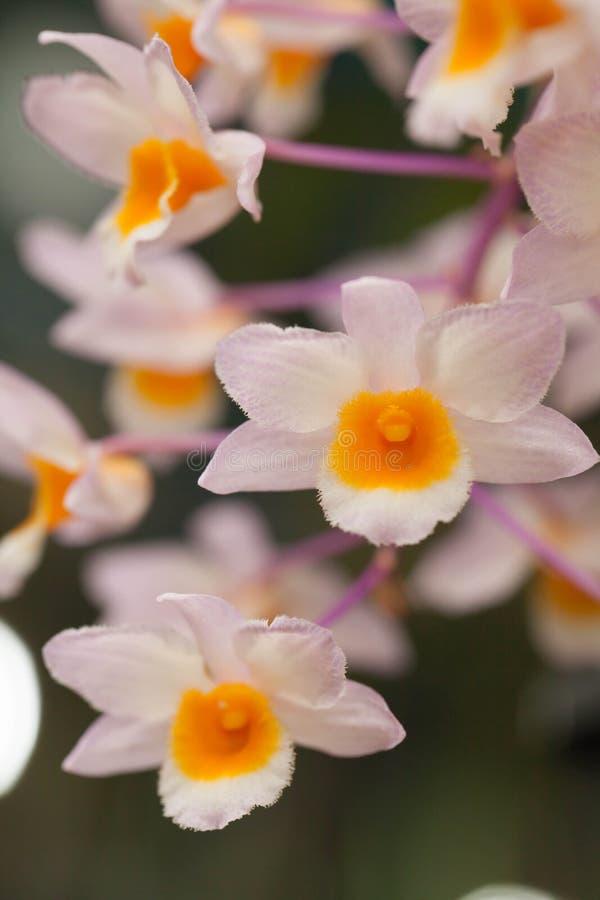 石斛兰属palpebrae兰花花 库存图片
