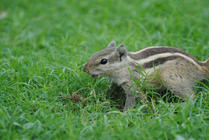 石松鼠 免版税库存照片
