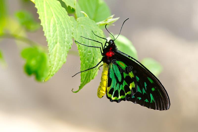 石标与露水的Birdwing蝴蝶 库存照片