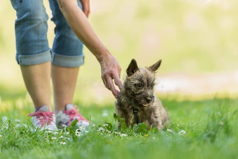 石标年纪狗的小狗13个星期 使用与他的在一个绿色草甸的所有者的小犬座 免版税库存照片