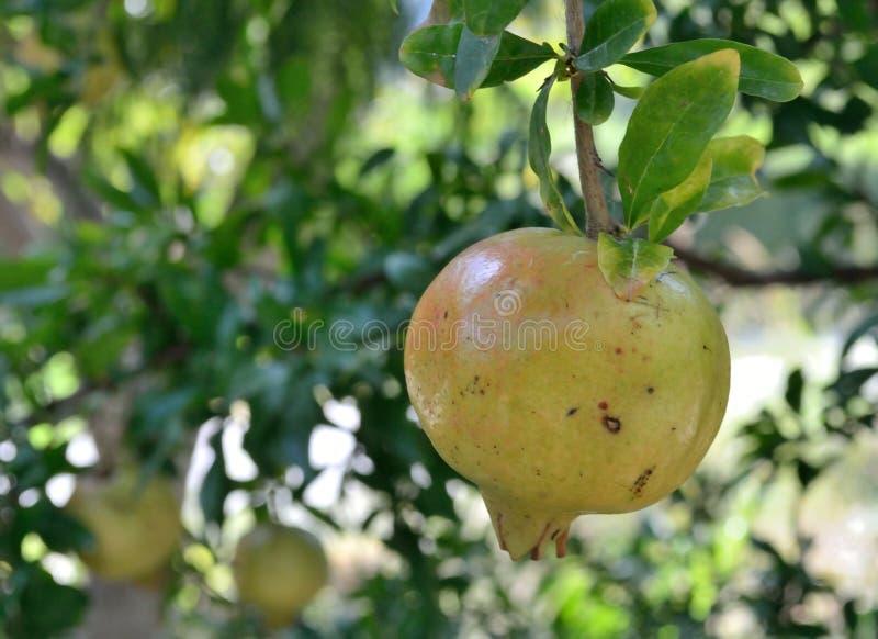 石榴树的果子在分支唱歌 免版税库存图片