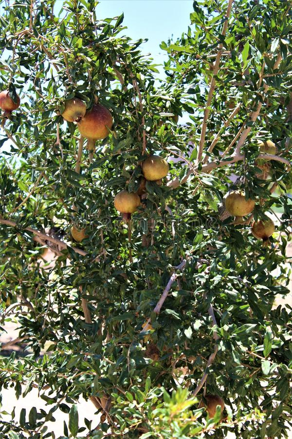 石榴,矮石榴树,负担落叶灌木或小树的果子位于女王小河,亚利桑那,美国 免版税库存照片