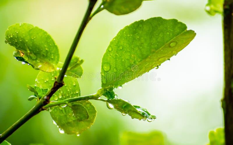 石灰在家离开与水在雨季的下落在庭院,下雨天,新鲜和美丽 图库摄影