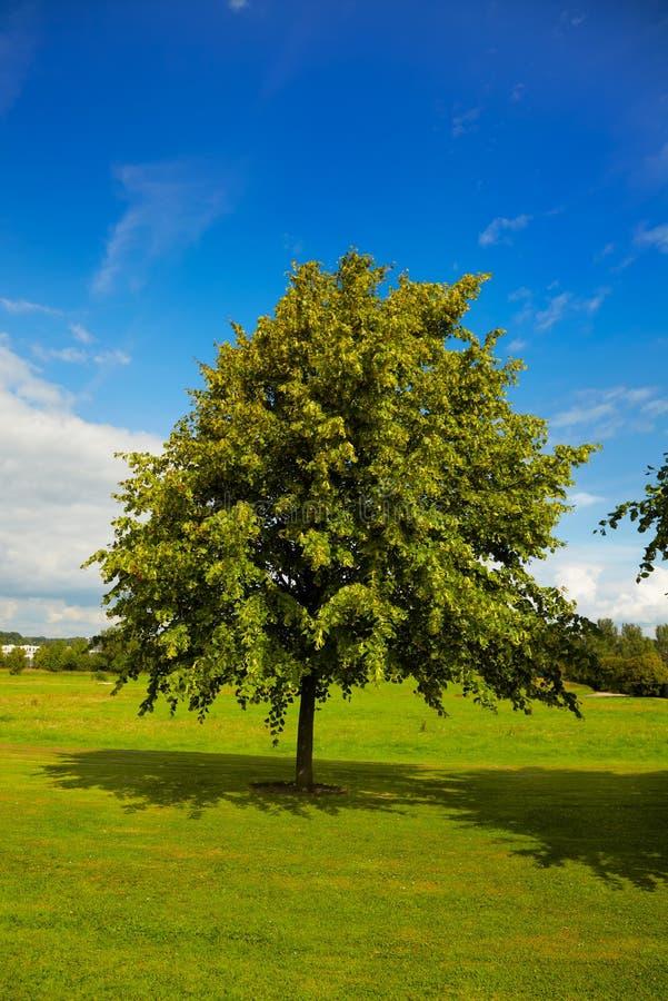 石灰夏天结构树 免版税库存照片