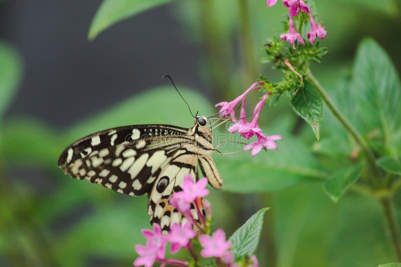 石灰蝴蝶吮花蜜, 库存照片