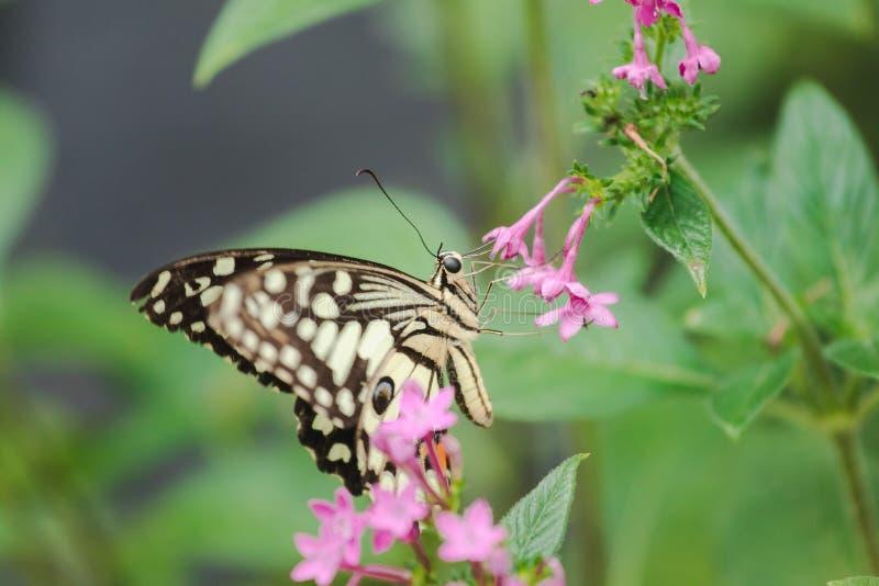 石灰蝴蝶吮花蜜, 免版税库存照片