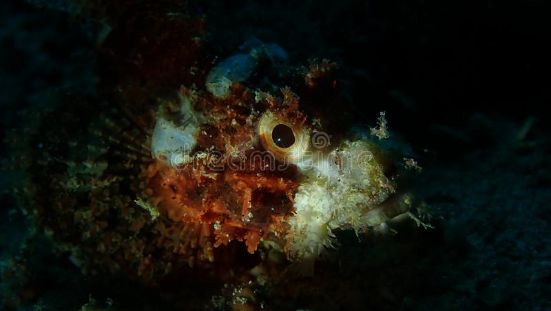 石白点,夜下潜,Anilao,菲律宾 免版税库存照片