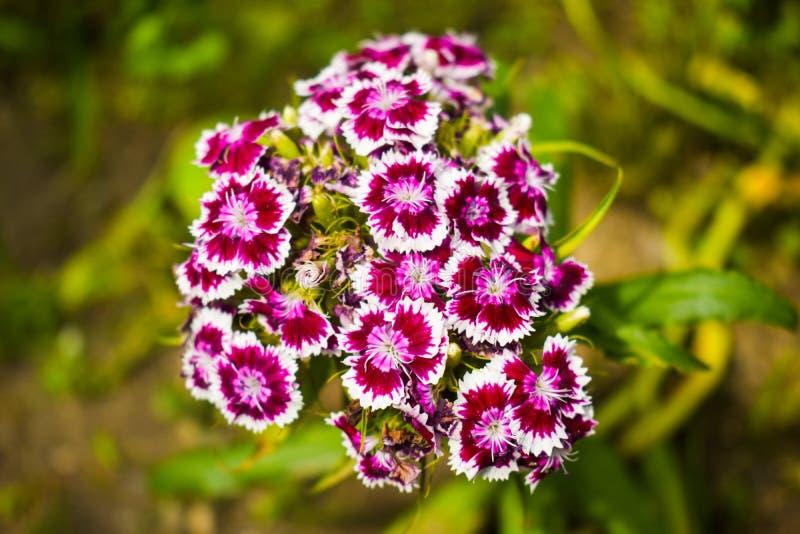 石竹barbatus,甜威廉,[2]是开花植物的种类康乃馨属、当地人到欧洲南部和部分 免版税库存图片