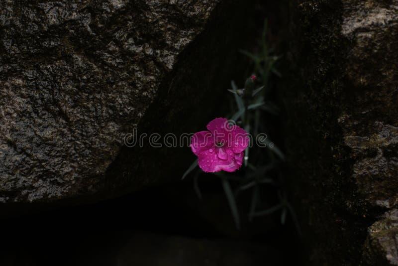 石竹plumarius,桃红色康乃馨 库存照片