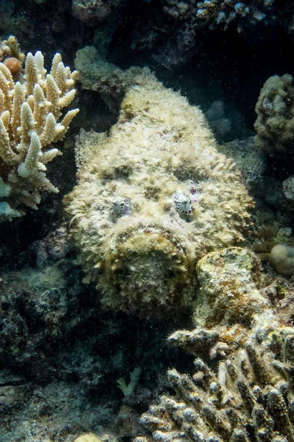 石鱼和珊瑚在礁石在红海 免版税库存图片
