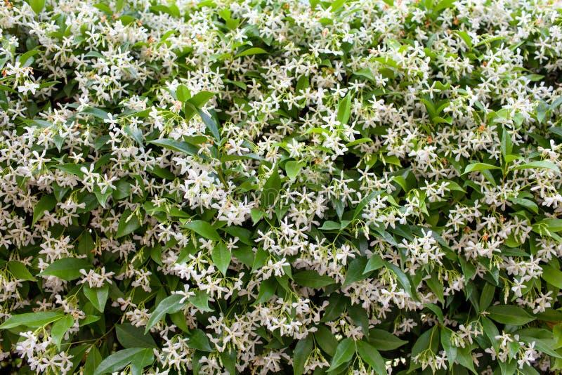 络石(亚洲蔓生植物jasminoides) 免版税库存图片