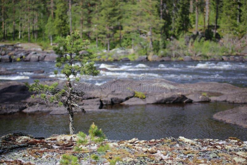 石头和云杉在瑞典河Ammeraan 库存图片