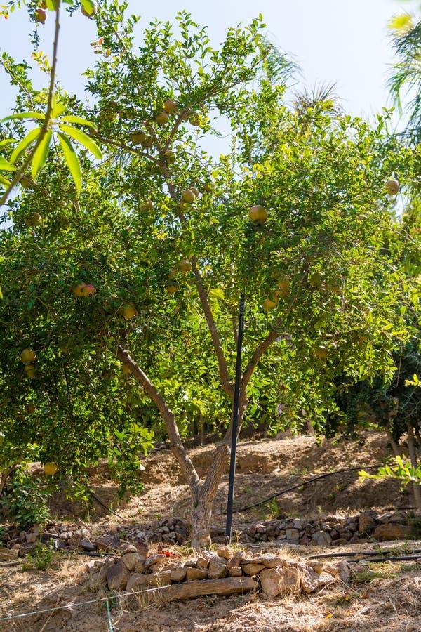 石榴果树用果子。 库存照片