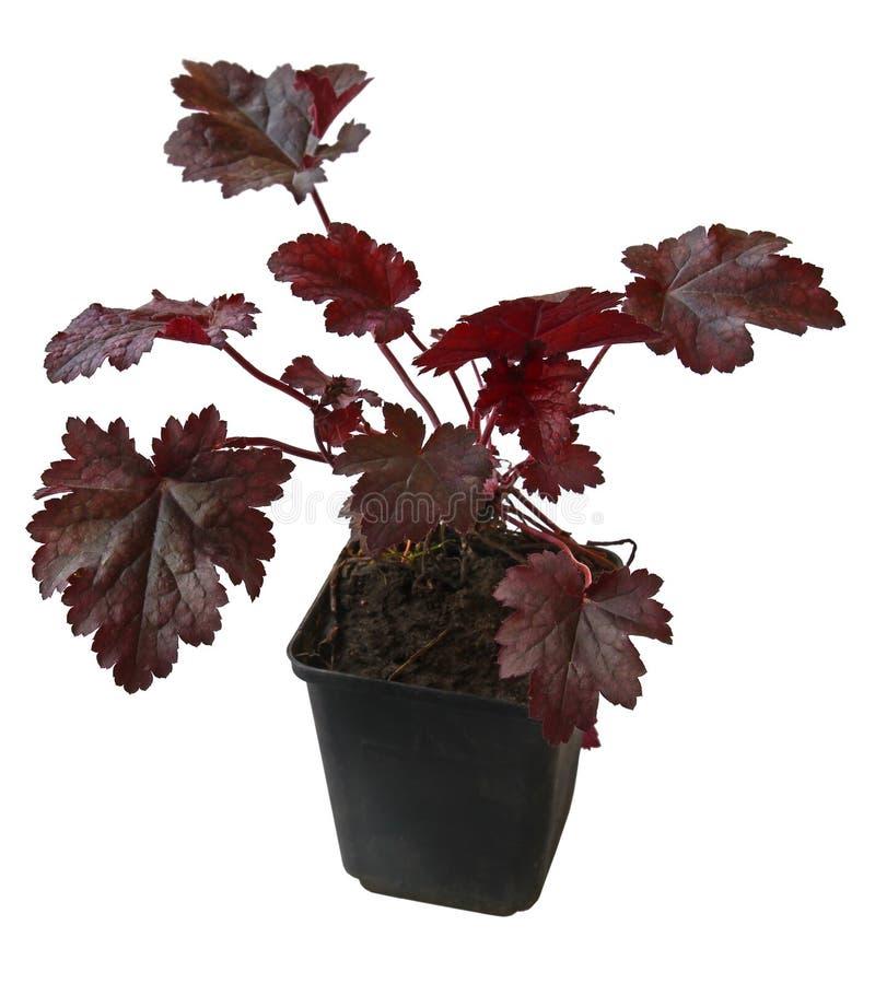 矾根属植物 免版税库存照片