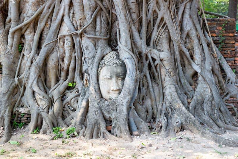 砂岩菩萨图象的头在树的在Wat Mahathat,阿尤特拉利夫雷斯,泰国根源 库存图片