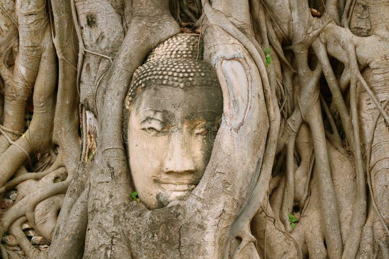 砂岩菩萨在Bodhi树根困住的雕象的头令人惊讶的看法在Wat Mahathat古庙在阿尤特拉利夫雷斯 库存照片