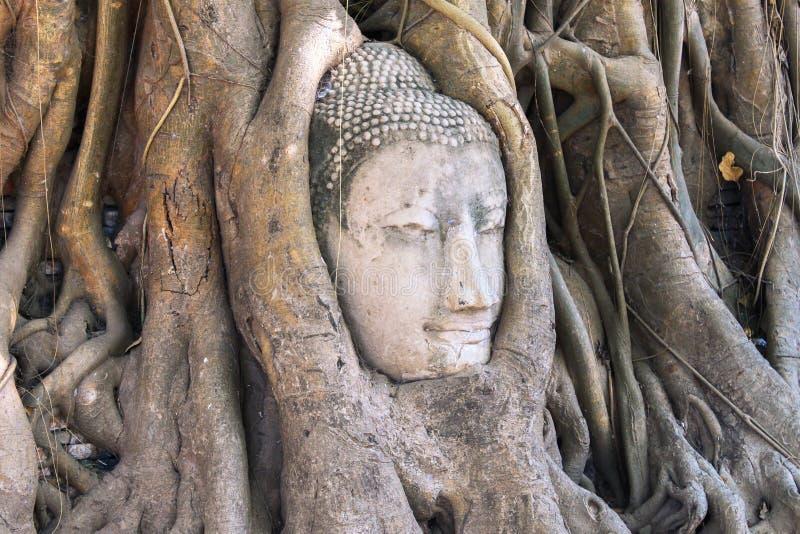砂岩菩萨头在树根的在Wat Mahathat, Ayut 库存照片