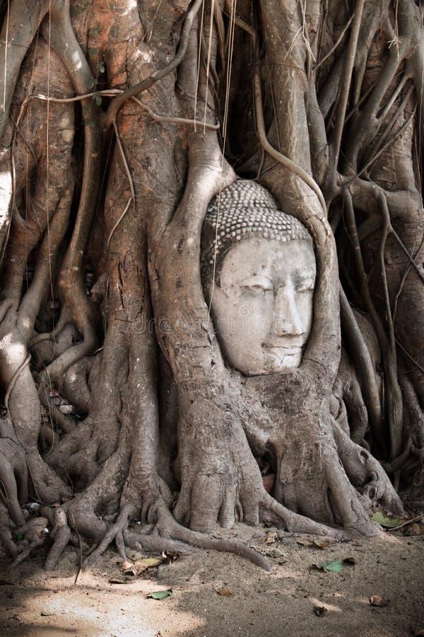 砂岩菩萨头在树根的在Wat Mahathat, Ayut 库存图片
