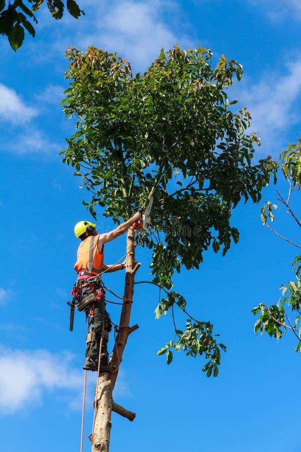 砍在鳄梨树下的树木整形专家 库存图片