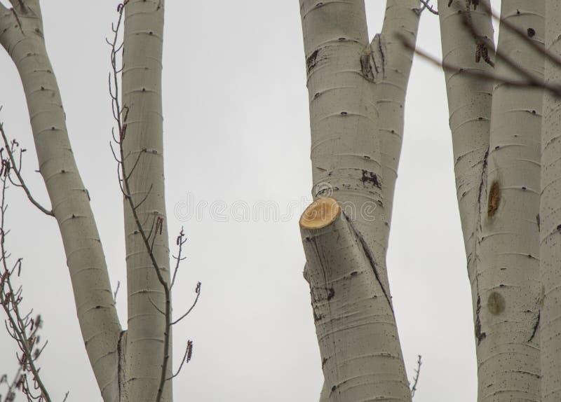 砍桦树 免版税库存图片