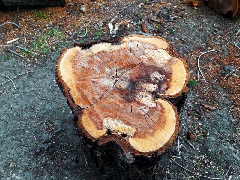 砍的树的树桩 免版税库存图片