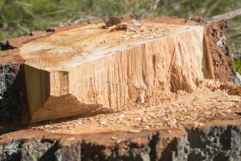 砍的橡树树桩  免版税库存图片