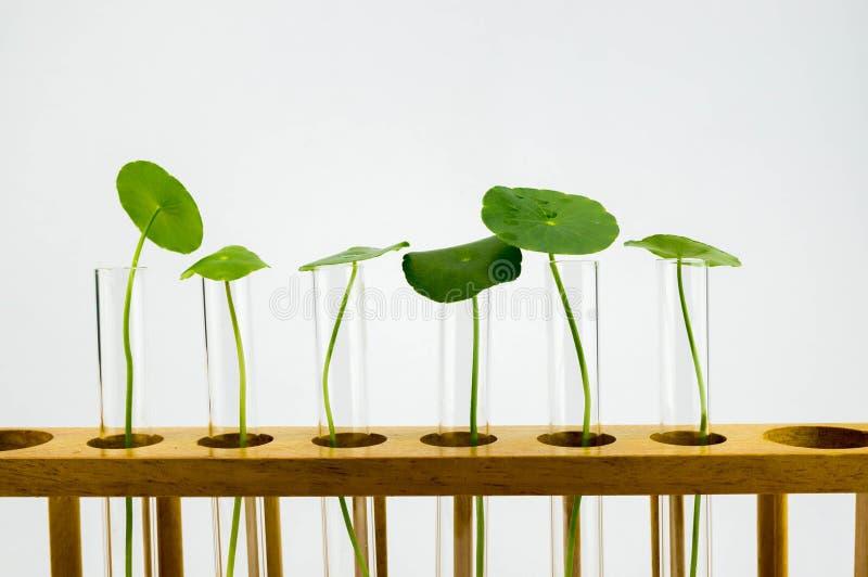 研究与开发植物新芽萃取物,平行检验在实验室 库存图片