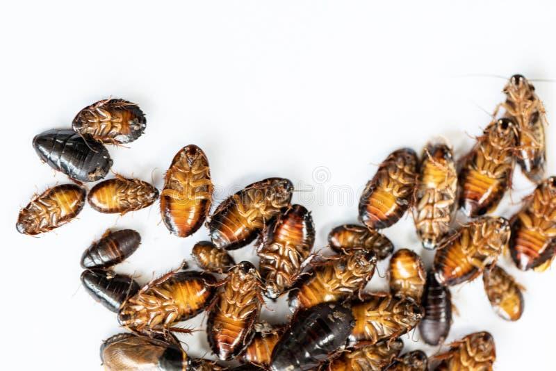 研究的特写镜头蟑螂在实验室 免版税库存照片