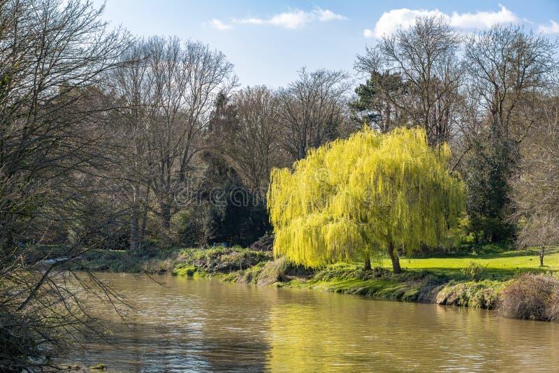 破裂入叶子的两棵垂柳树在河Stour的河岸的春天在Aylesford 免版税库存图片