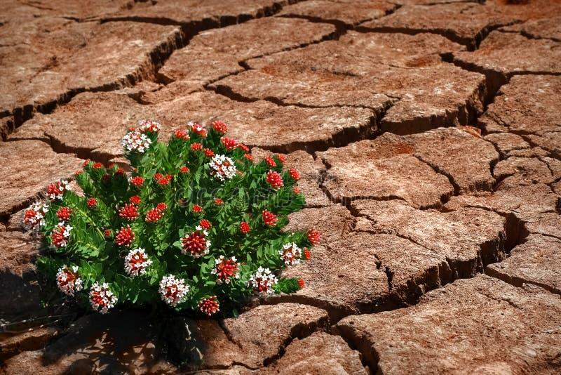 破裂的地球上的花在沙漠 生与死 全球性变暖 库存照片