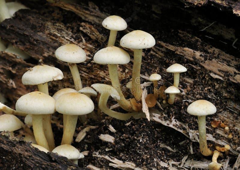 硫磺一束真菌 免版税库存图片