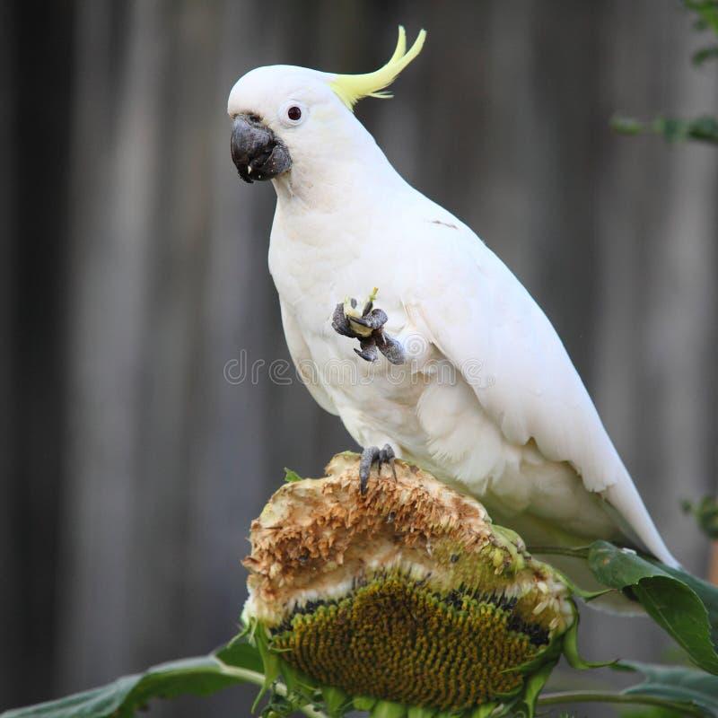 硫磺有顶饰美冠鹦鹉吃 免版税库存照片