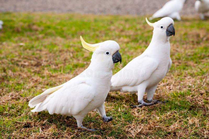 硫磺有顶饰美冠鹦鹉等待的牺牲者 免版税库存照片