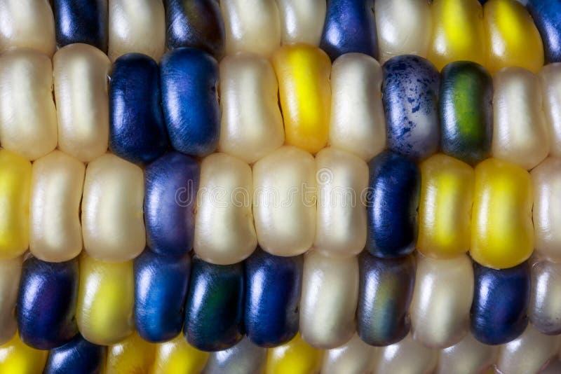 硬粒玉米颜色 免版税库存照片