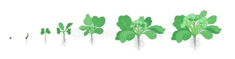 硬花甘蓝圆白菜庄稼阶段  增长的硬花甘蓝植物 收获成长菜 ?? o 向量例证