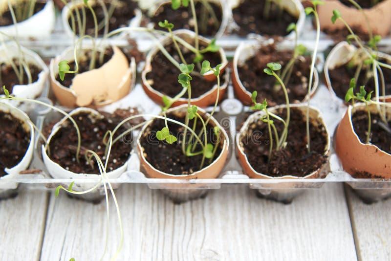 硬花甘蓝幼木发芽生长在蛋壳,健康饮食和 免版税库存照片