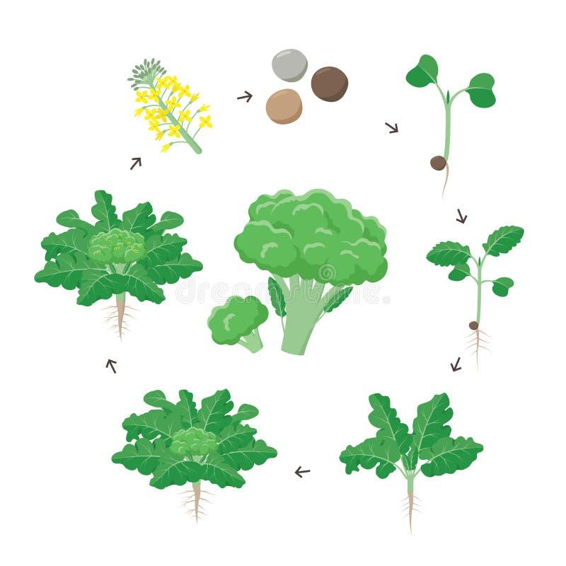 硬花甘蓝植物生长阶段infographic元素 硬花甘蓝,对成熟的植物的新芽的增长的过程从种子的与 皇族释放例证