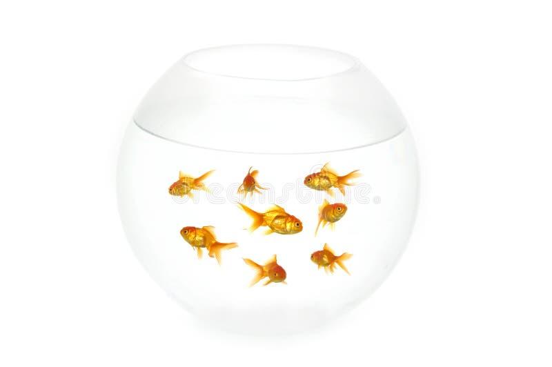 碗鱼金子 免版税库存图片