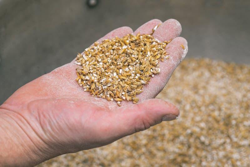 Ground malt seeds 一把麦芽,男人手里特制啤酒 用大麦麦芽酿造的牛皮 库存图片