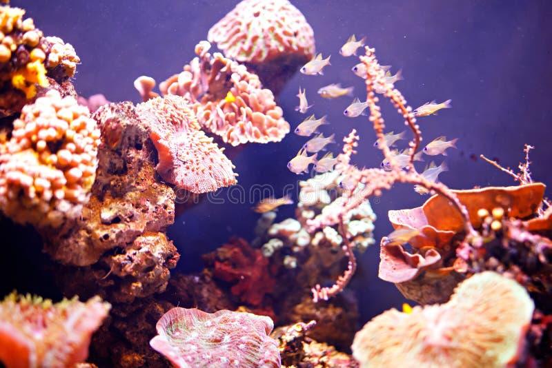 礁石坦克,海洋水族馆 充分蓝色水族馆植物 坦克充满收留的活水下的动物水 库存照片