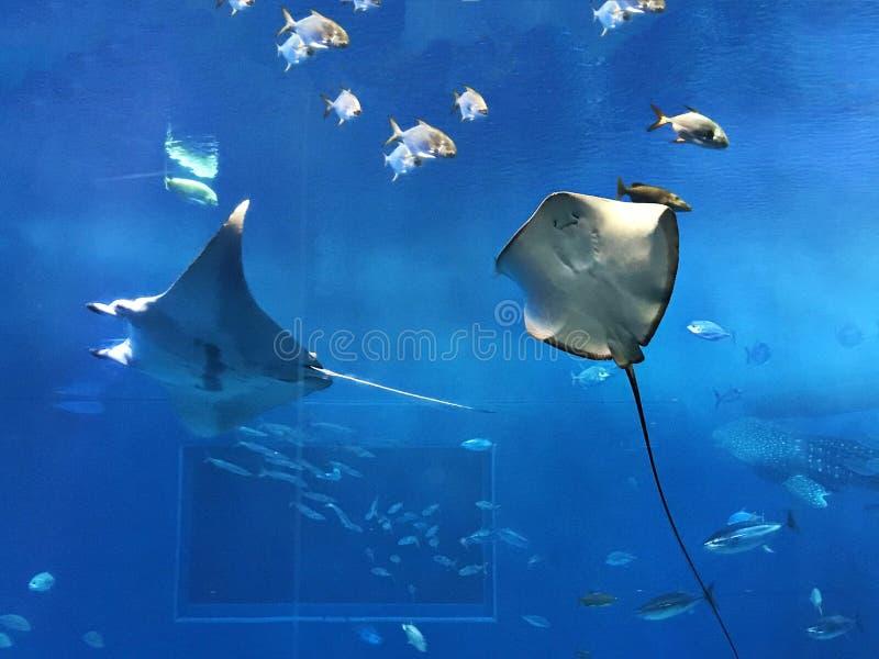 礁石披巾或女用披巾alfredi或者Mobula alfredi和黄貂鱼 库存照片