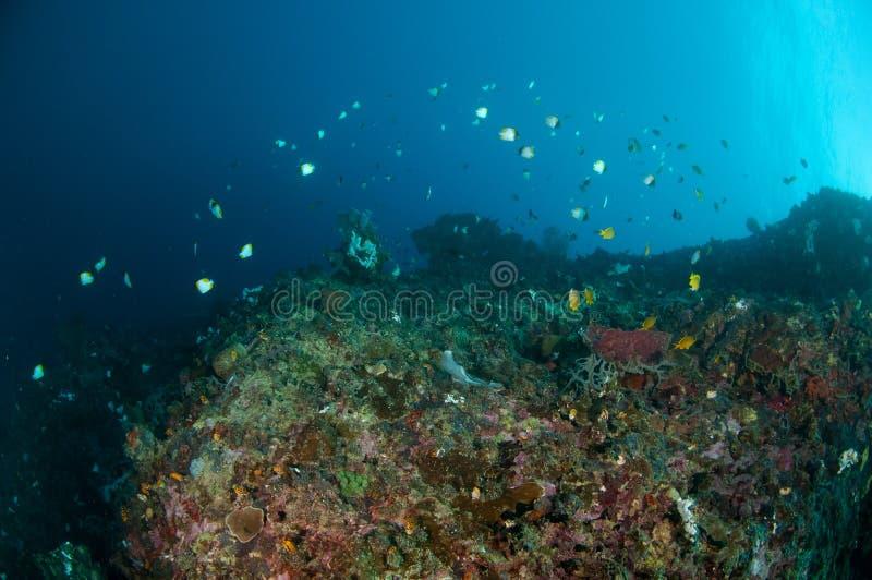 礁石鱼在珊瑚礁上游泳在哥伦打洛市,印度尼西亚 库存照片