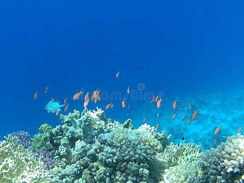 礁石鱼在红海 图库摄影