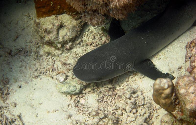 礁石鲨鱼特写镜头 免版税库存图片