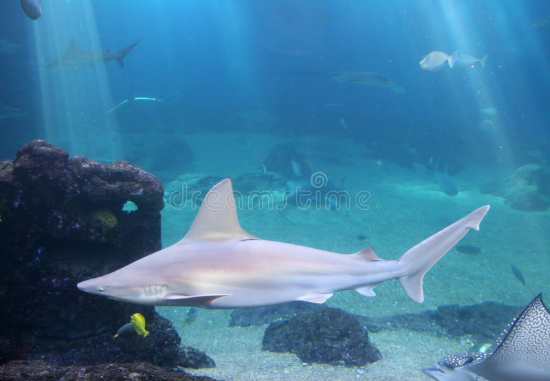 礁石鲨鱼whitetip 库存照片