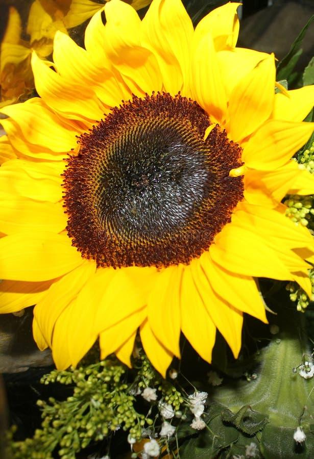 礼物的一个美丽的向日葵 免版税库存图片