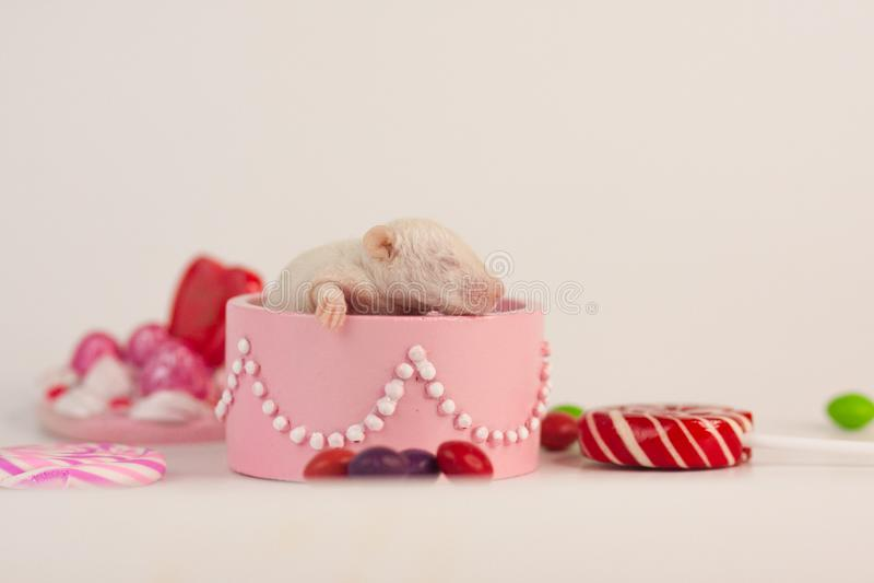 礼物的概念 一点在箱子的鼠 啮齿目动物用糖果 库存照片