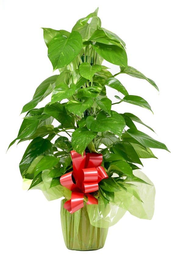 礼物被包裹的常绿藤本植物aureum植物 免版税库存图片