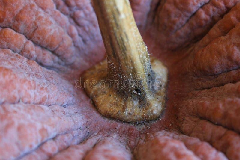 祖传遗物笋瓜的接近的看法 库存图片